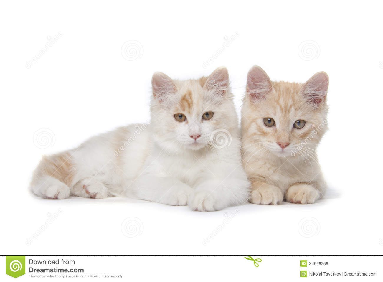 Kurilian Bobtail Kitten: Royalty Free Stock Two Kurilian Bobtails Cats Kittens Isolated Over White Background Breed