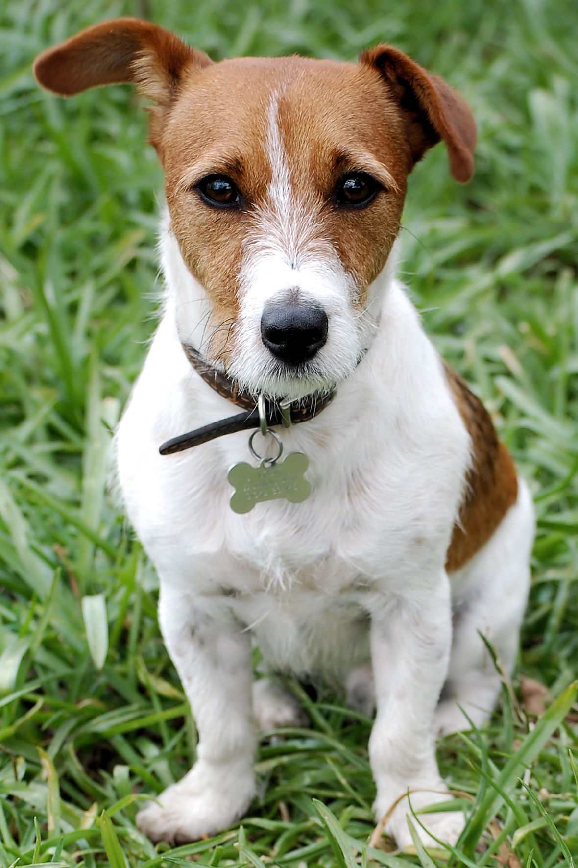 Russell Terrier Dog: Russell Breed