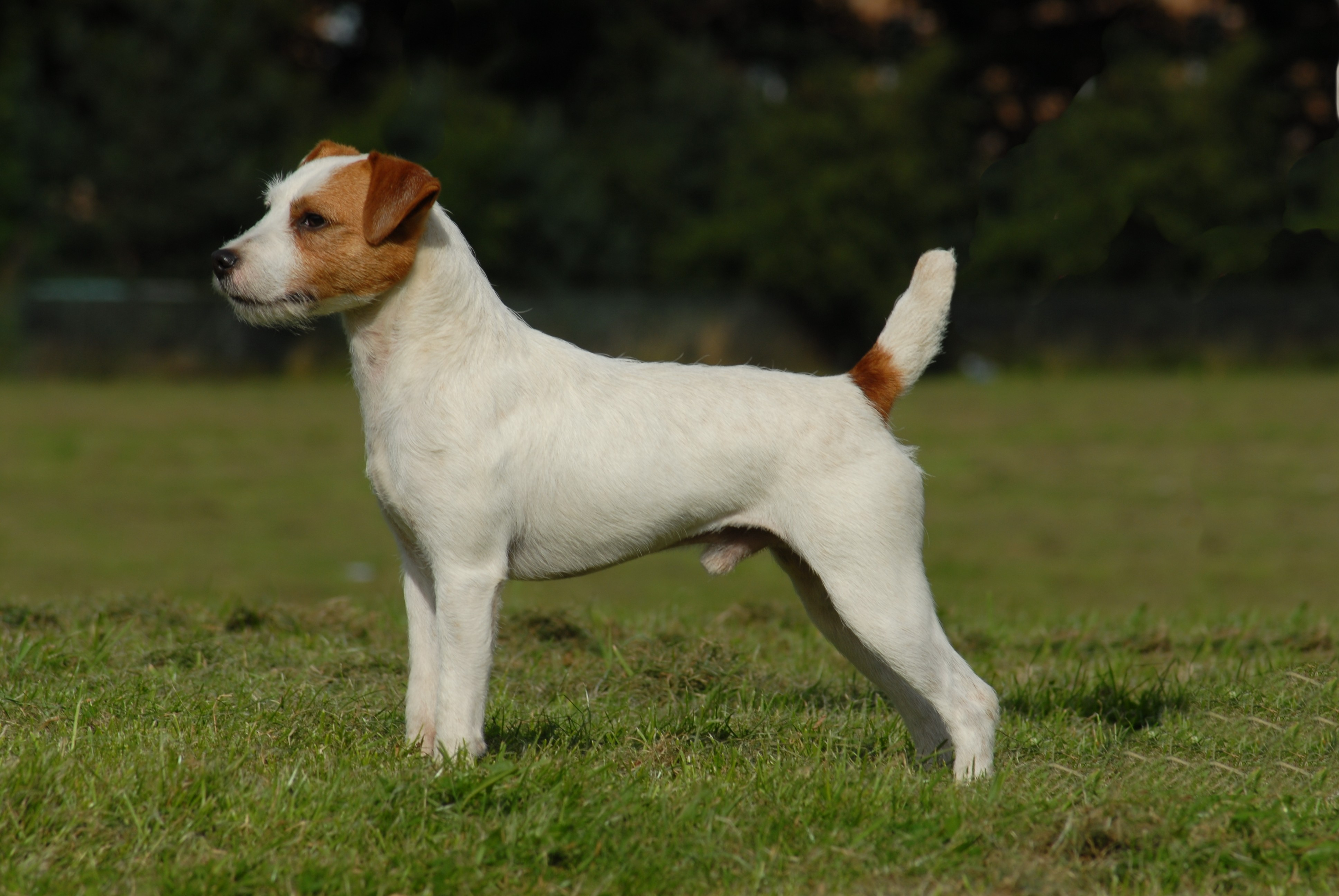 Russell Terrier Dog: Russell Dog Breeds List