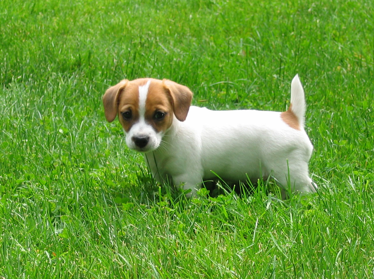 Russell Terrier Puppies: Russell Jack Russell Terrier Breed