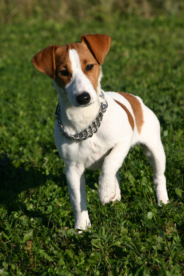 Russell Terrier Dog: Russell Jack Russell Terrier Smooth Breed