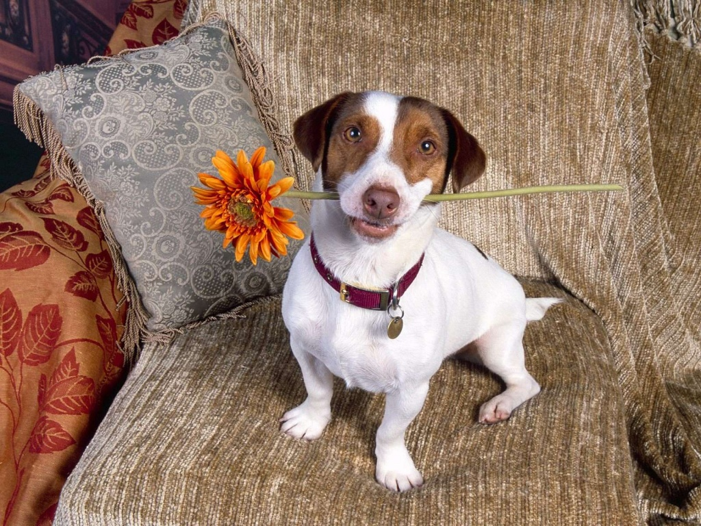 Russell Terrier Dog: Russell Jackrussellterrierpc X Breed