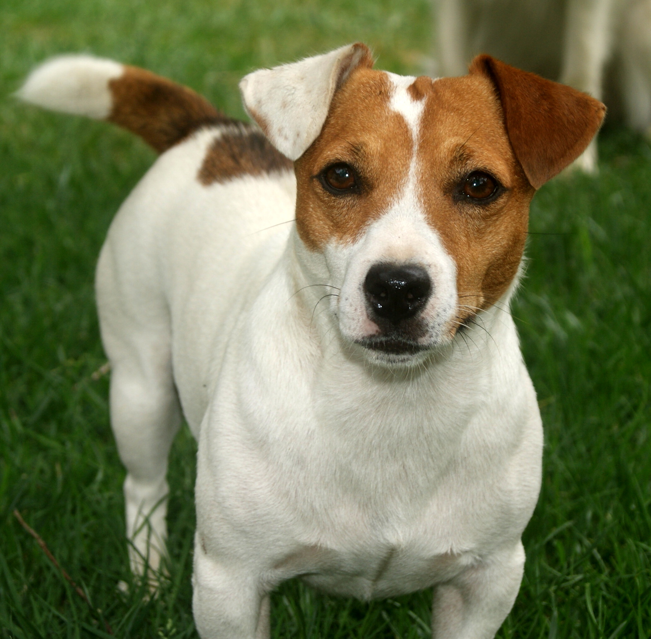 Russell Terrier Dog: Russell Lovely Jack Russell Terrier Dog Breed
