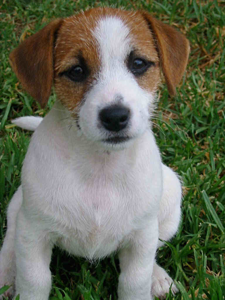 Russell Terrier Dog: Russell Nice Jack Russell Terrier Dog Breed