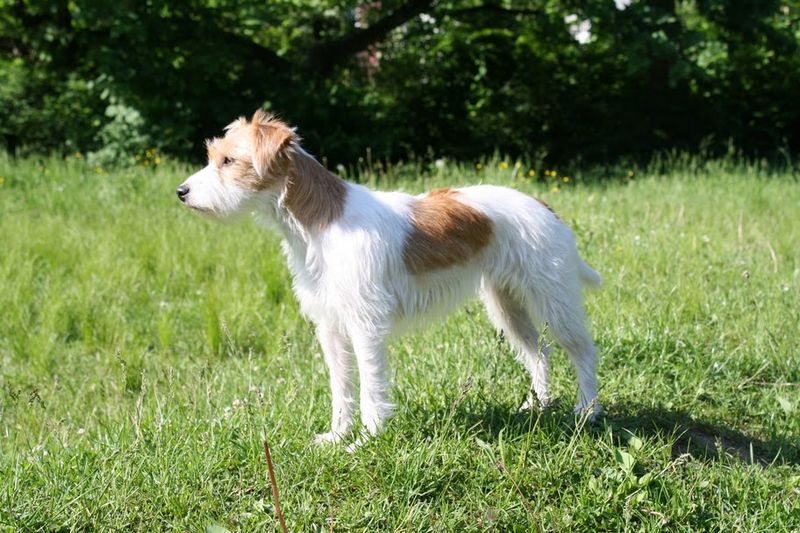 Russell Terrier Dog: Russell Parson Russell Terrier Dog Breed