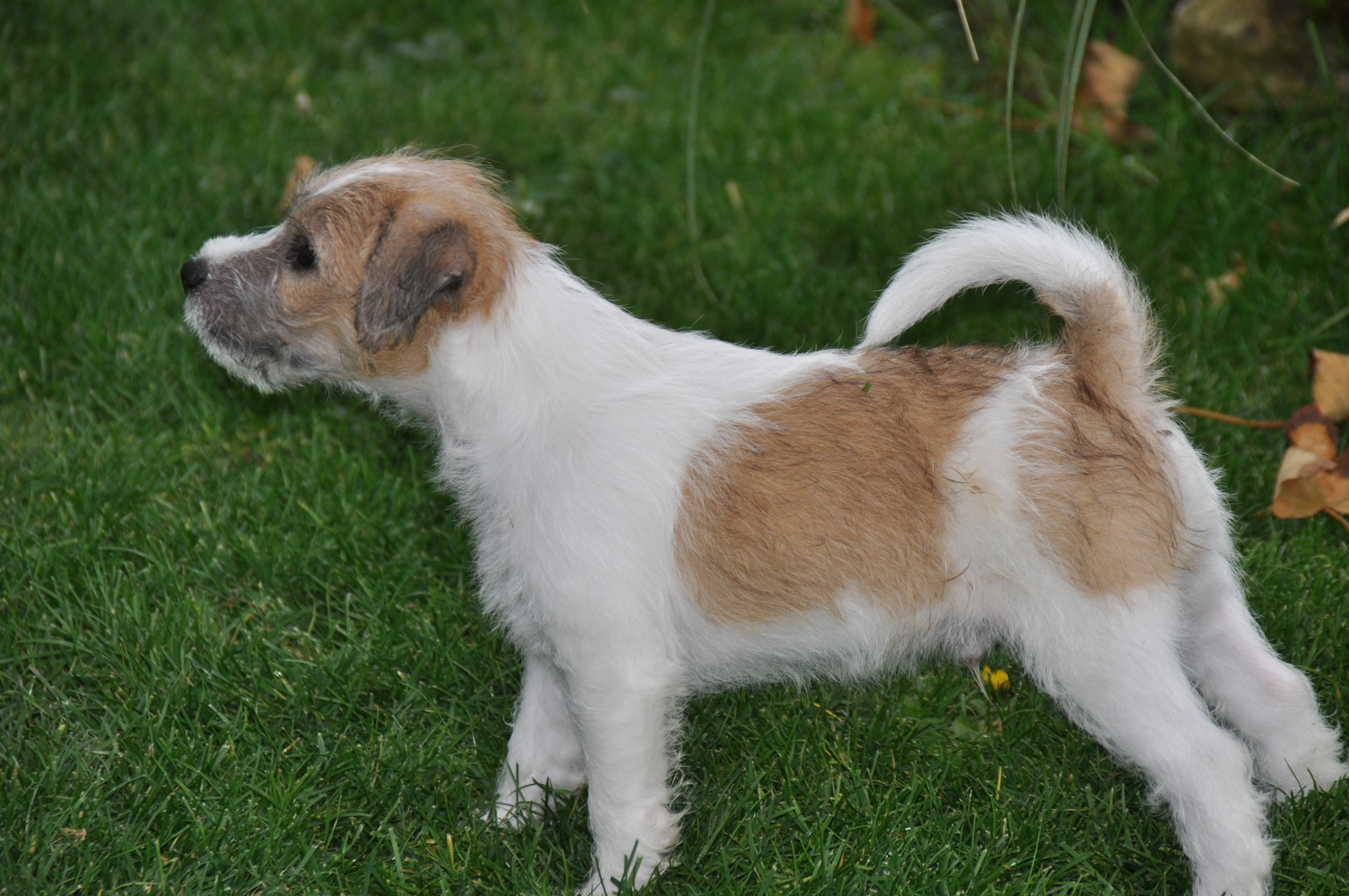 Russell Terrier Dog: Russell Parson Russell Terrier Dog On The Grass Breed