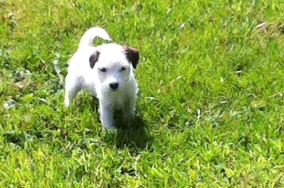 Russell Terrier Puppies: Russell Parson Russell Terrier Puppies Cranbrook Breed