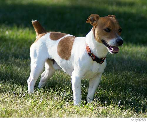 Russell Terrier Dog: Russell Smartest Small Dog Jack Russell Terrier Breed
