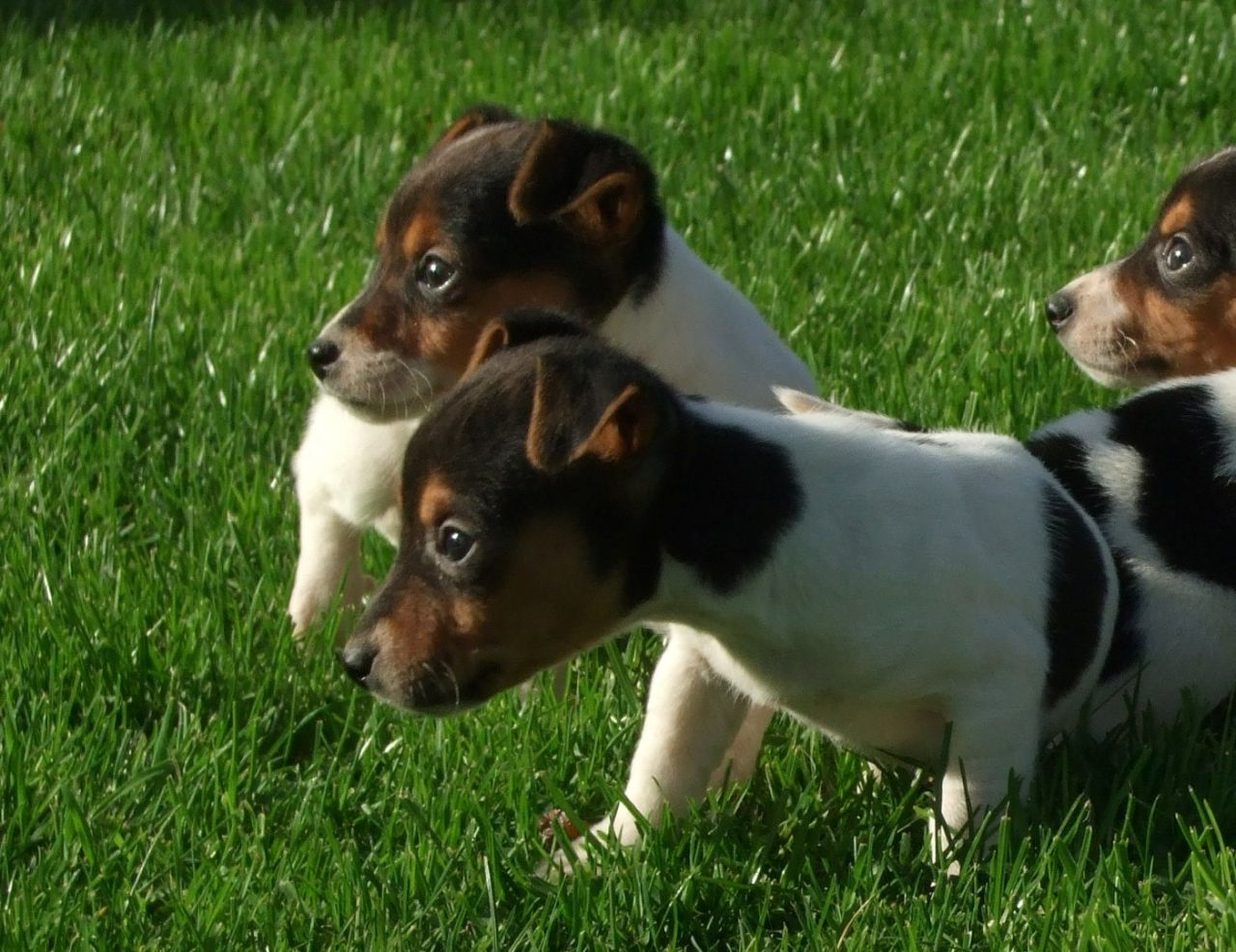 Russell Terrier Puppies: Russell Stunning Jack Russell Terrier Puppies Swansea Breed