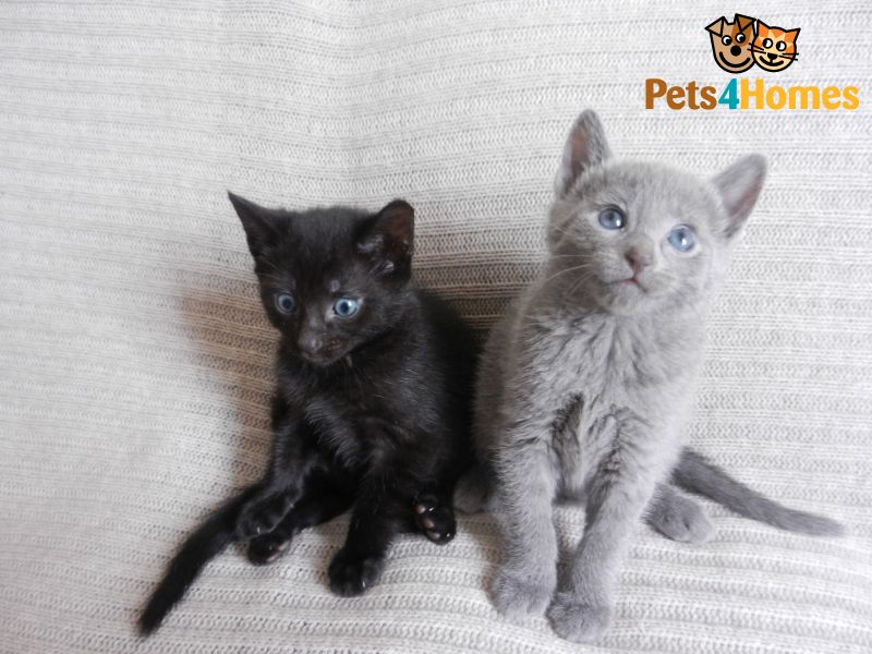 Russian Black Kitten: Russian Black Kitten Not Blue Wolverhampton Breed