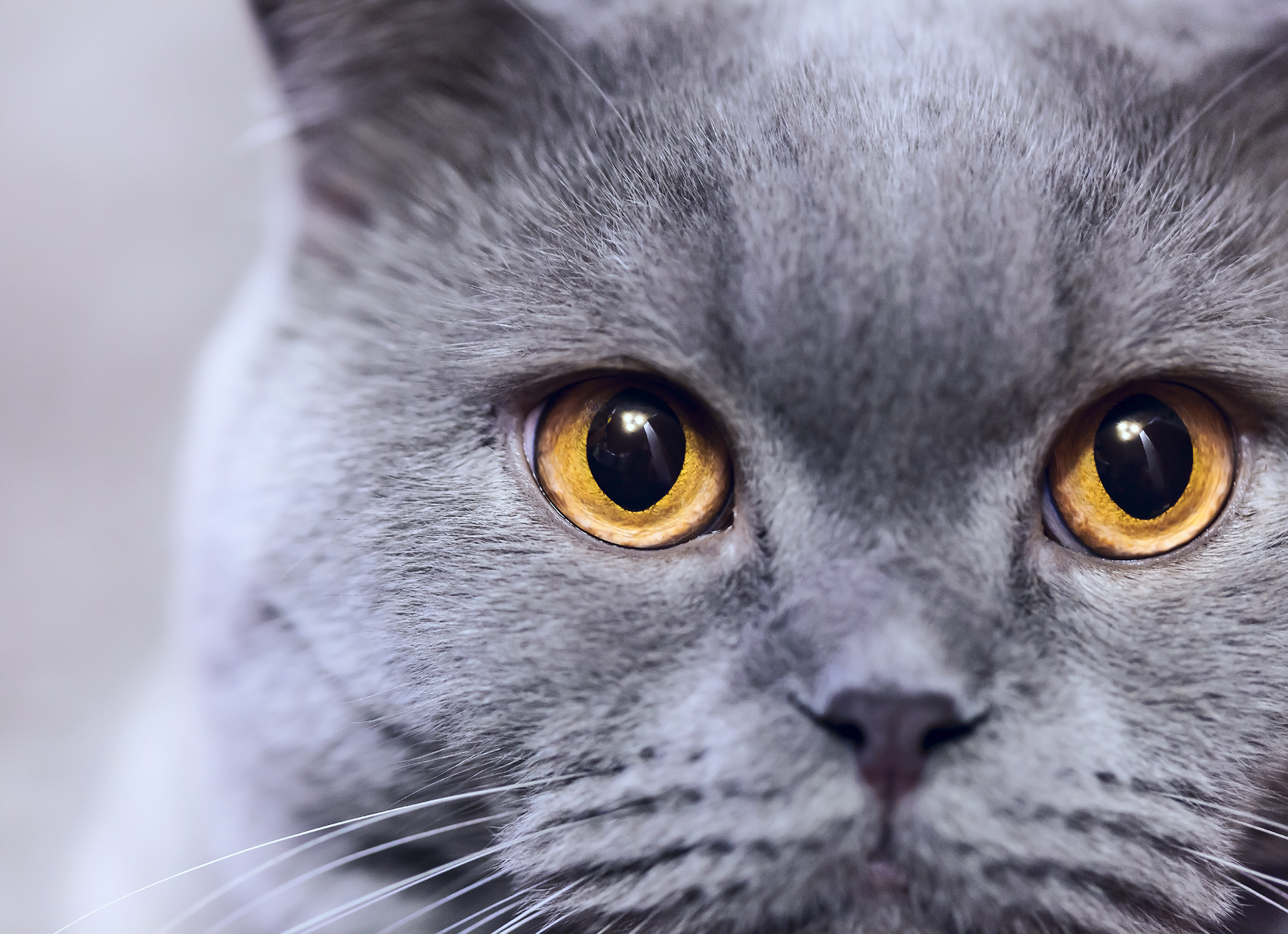 Russian Blue Cat: Russian Cat Breeds The Russian Blue