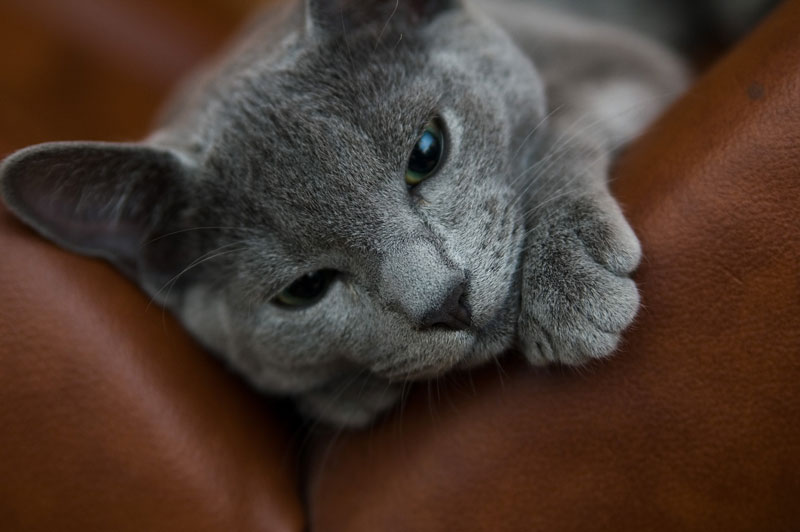 Russian Blue Cat: Russian Cnvzclhbibibhvlignhda Breed