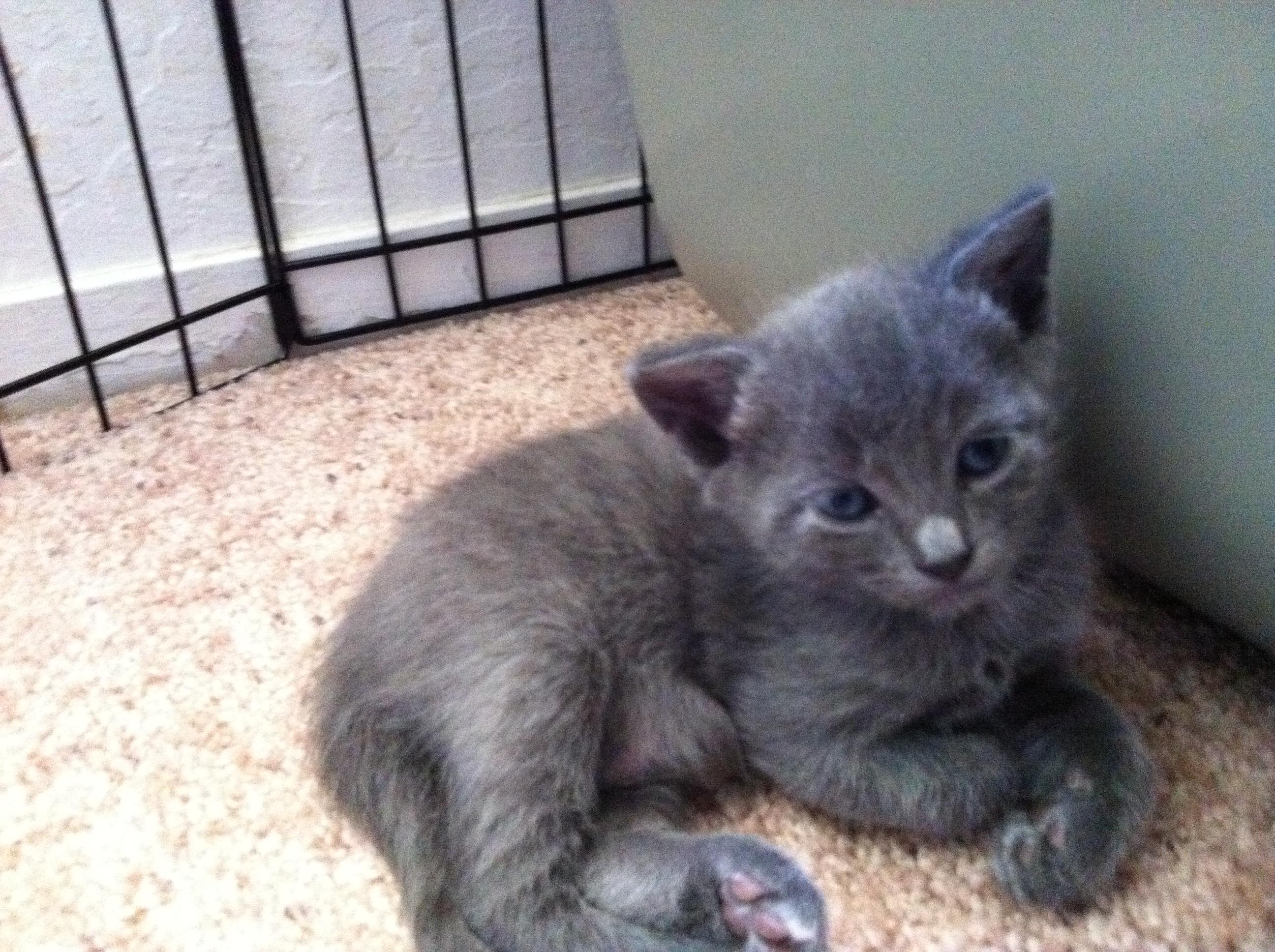 Russian Blue Kitten: Russian Cnvzclhbibibhvligtpdhrlbnm Breed