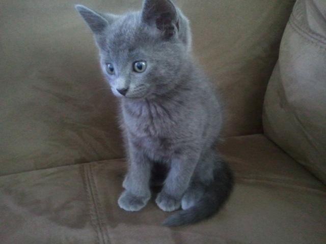 Russian Blue Kitten: Russian Cove Breed