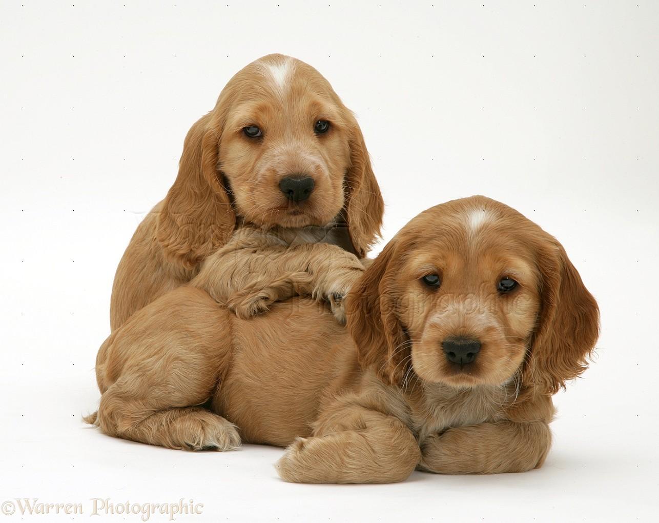 Russian Spaniel Puppies: Russian Cute Little Puppy Cute Puppies Fanpop Fanclubs Breed