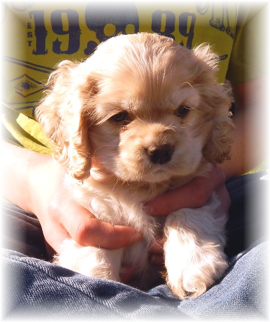 Russian Spaniel Puppies: Russian En I Offer I Id I I American Cocker Spaniel Puppies For Sale Breed