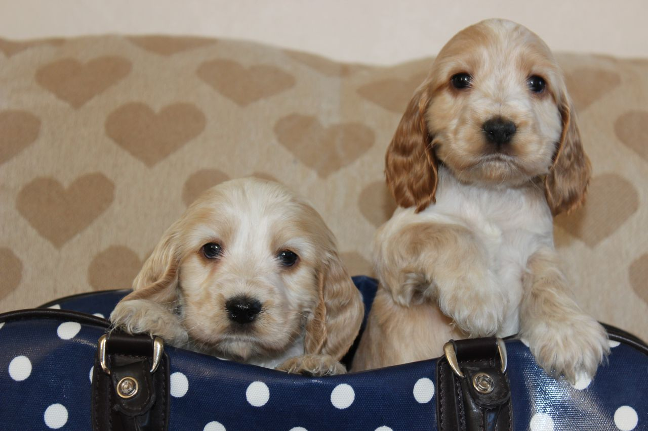 Russian Spaniel Puppies: Russian English Cocker Spaniel Puppies English Cocker Spaniel Puppies English Breed