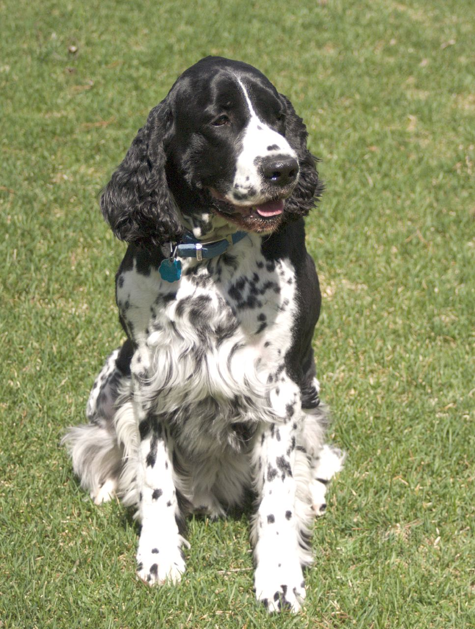 Russian Spaniel Puppies: Russian English Springer Spaniel Breed