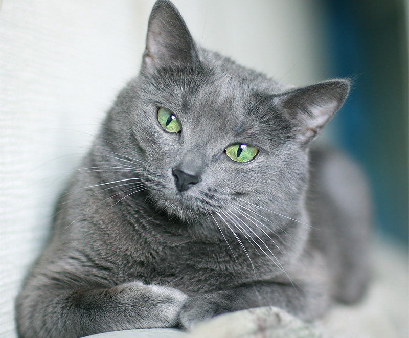 Russian Blue Cat: Russian Funnycats Breed