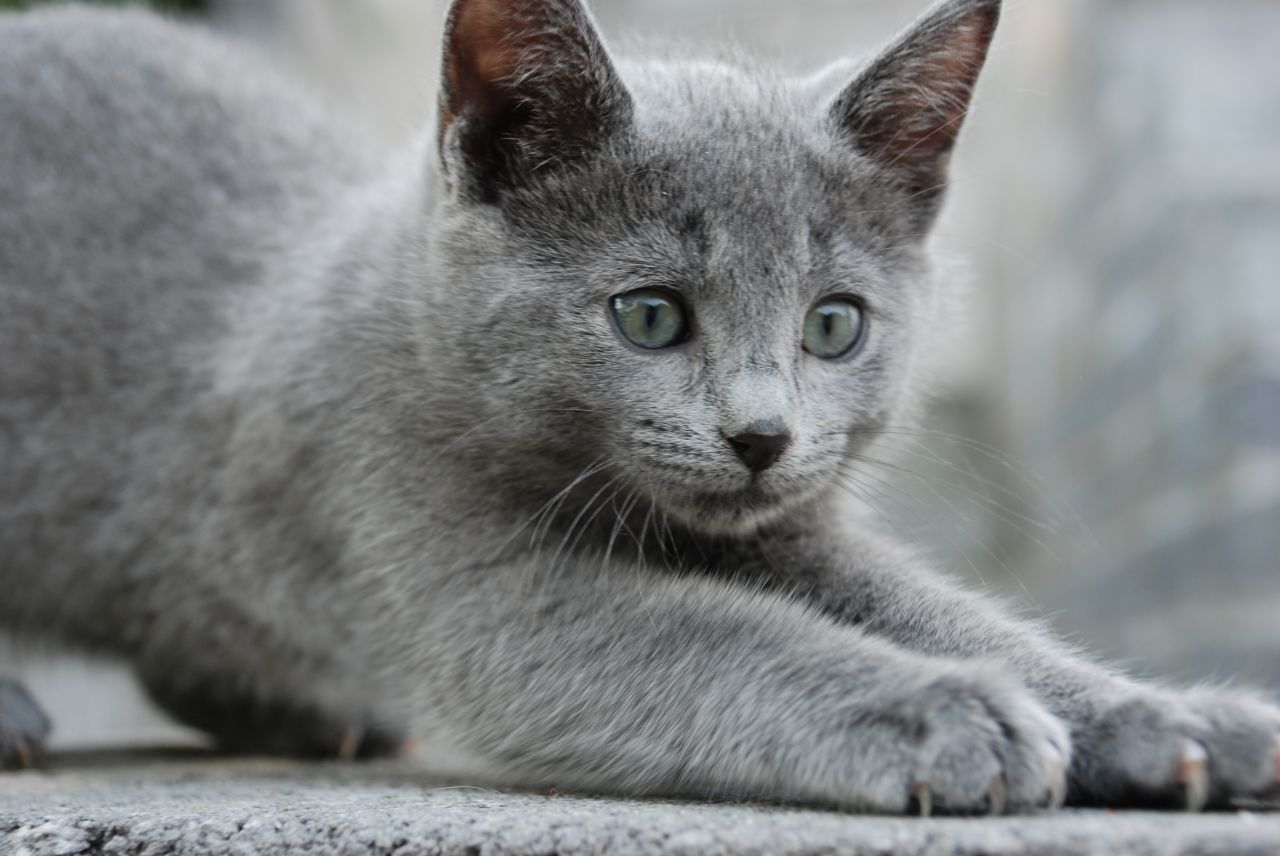 Russian Blue Cat: Russian Gccf Full Pedigree Russian Blue Kittens Swansea Breed