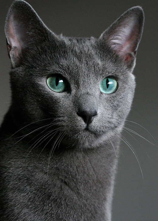 Russian Blue Cat: Russian Magic Russian Blue Breed