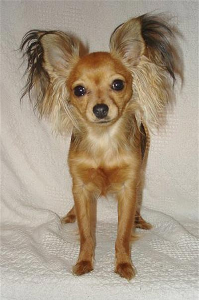 Russian Toy Dog: Russian Pequeno Perro Ruso Breed