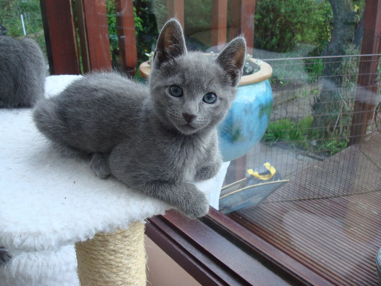 Russian Blue Kitten: Russian Persian Kittens Newbury Breed