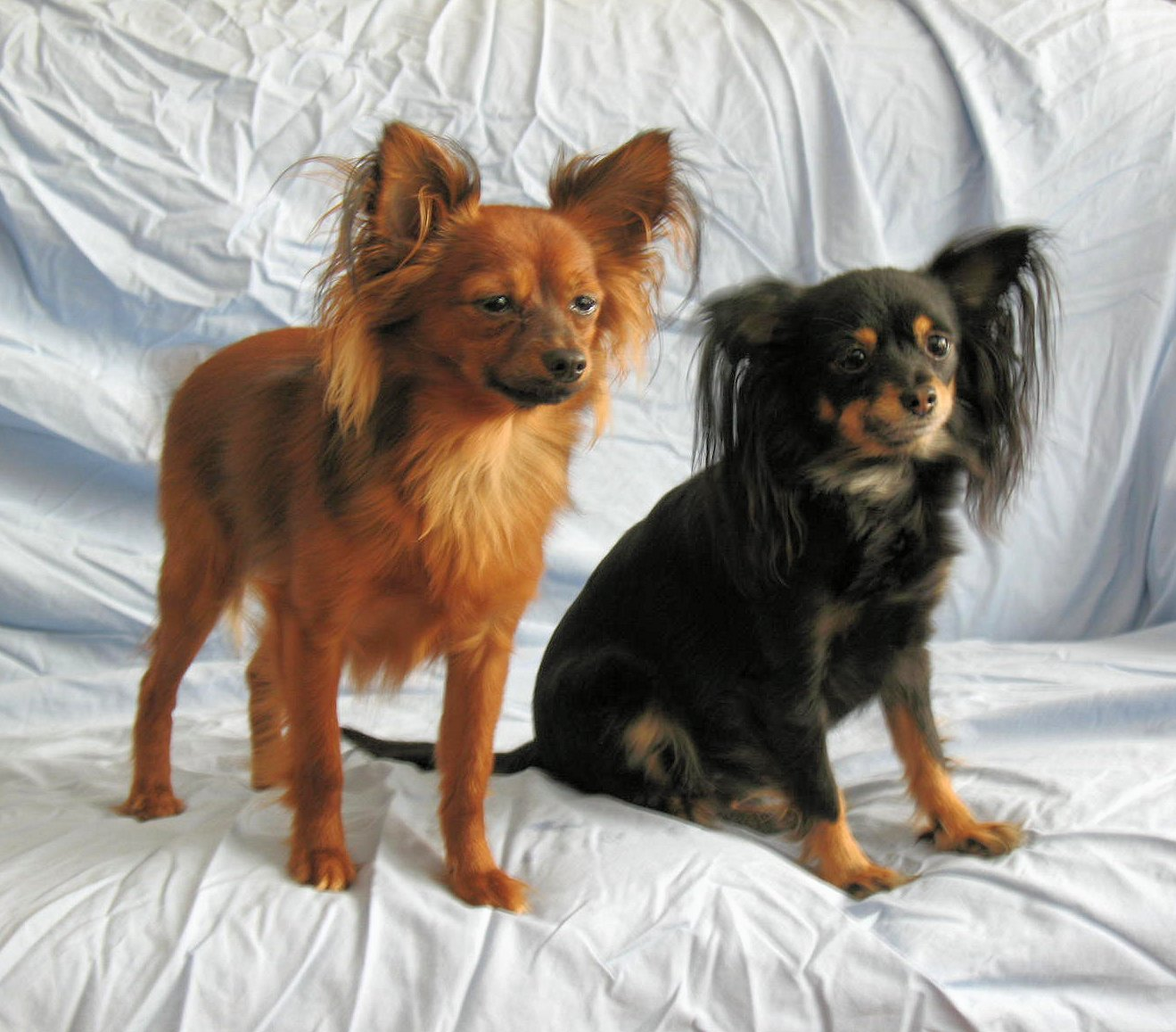 Russian Toy Dog: Russian Puppies Breed