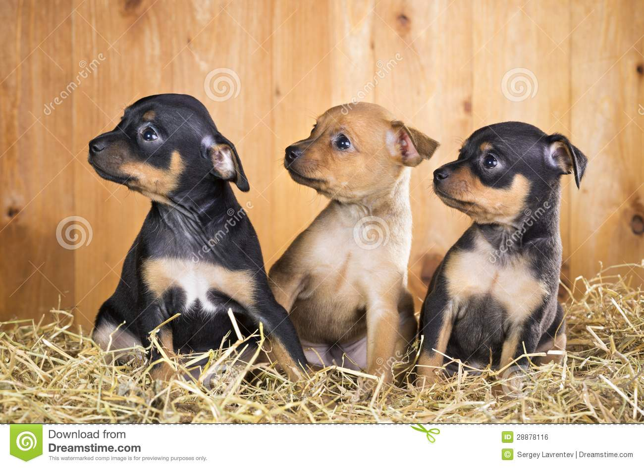 Russian Toy Puppies: Russian Royalty Free Stock Three Russian Toy Terrier Puppies Breed