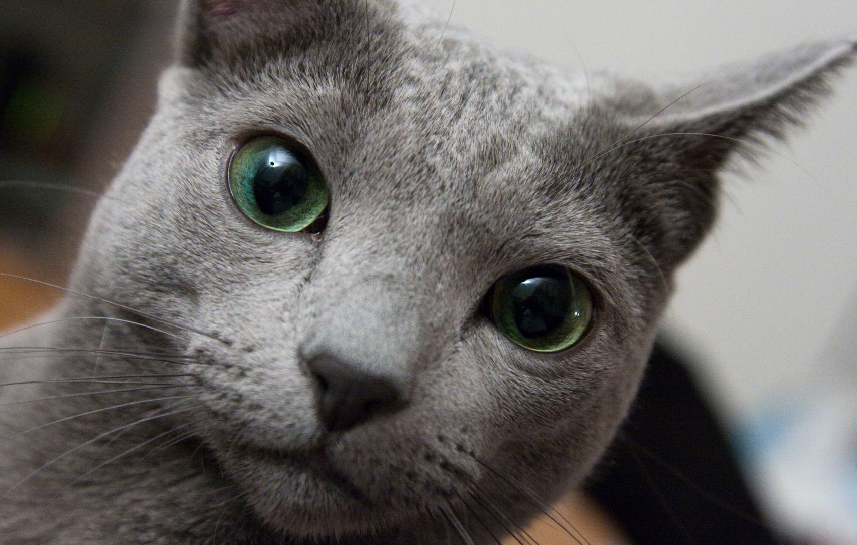 Russian Blue Cat: Russian Russian Blue Breed