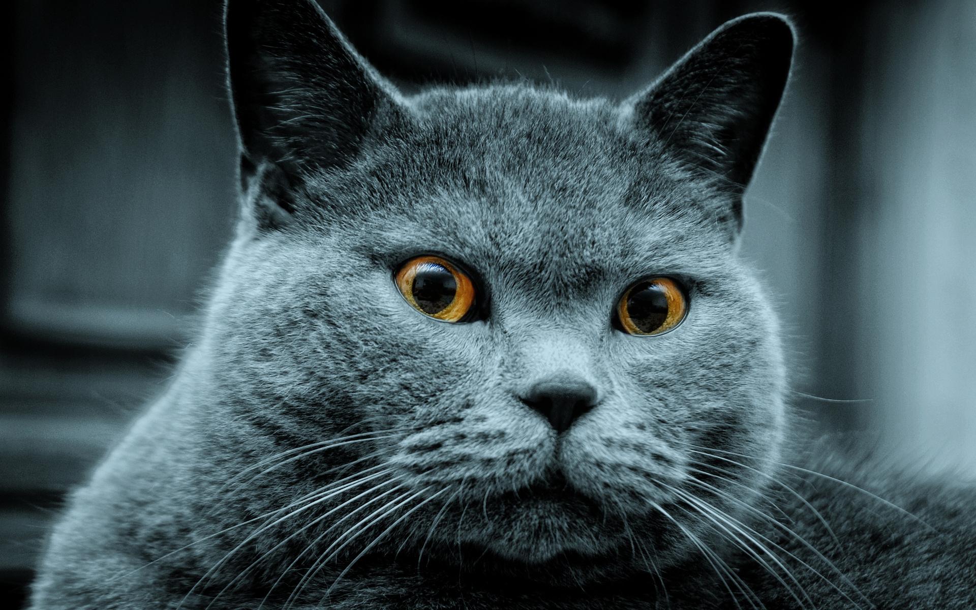 Russian Blue Cat: Russian Russian Blue Cat Breed