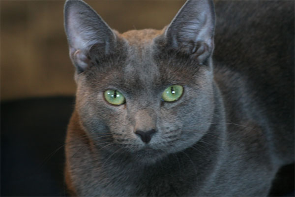 Russian Blue Cat: Russian Russian Blue Cat Pictures Blue Cats Breeds Blue Cats Breeds