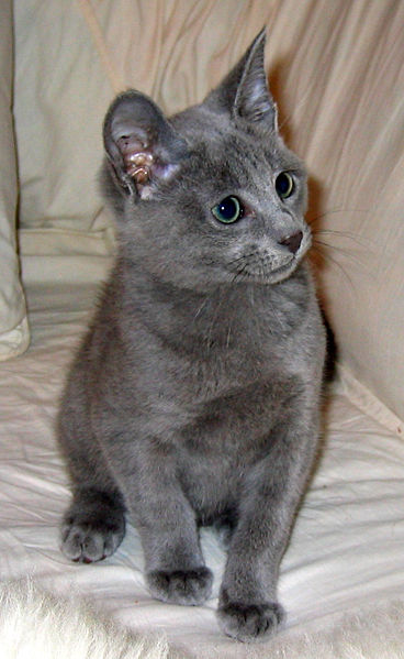 Russian Blue Cat: Russian Russian Blue Cat Specs Pictures Breed