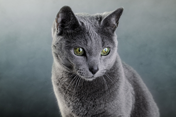 Russian Blue Cat: Russian Russian Blue Cats Breed