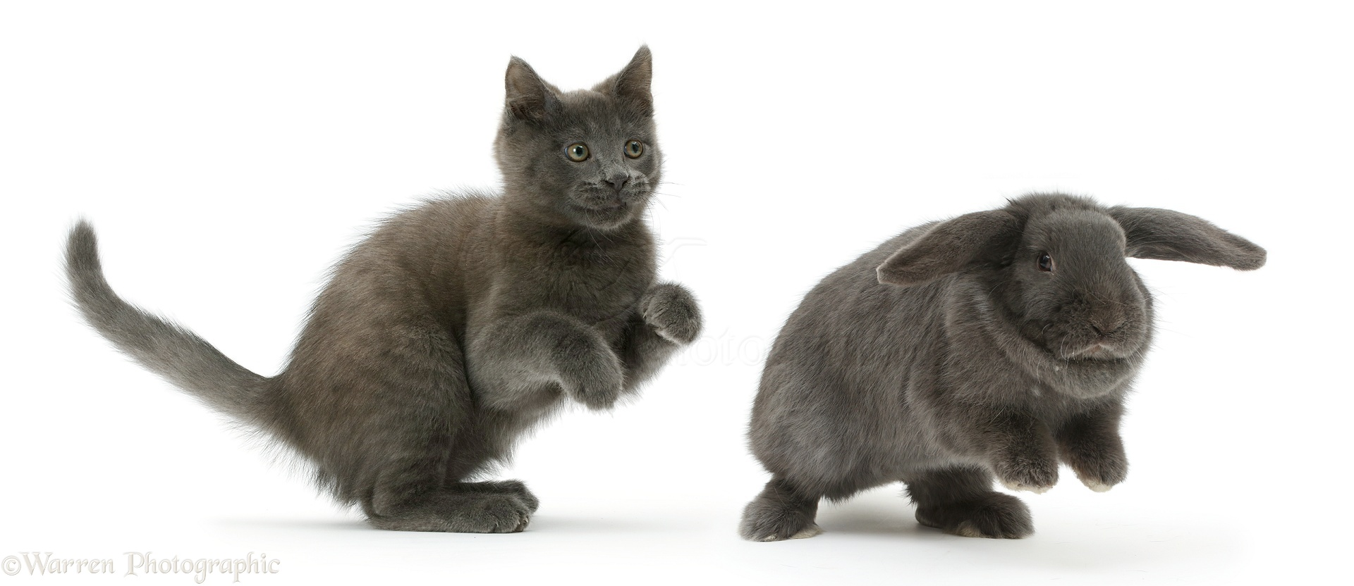 Russian White Kitten: Russian Russian Blue Kitten Chasing Blue Lop Rabbit Breed