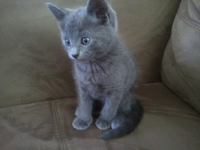 Russian White Kitten: Russian Russian Blue Mix Kitten Breed