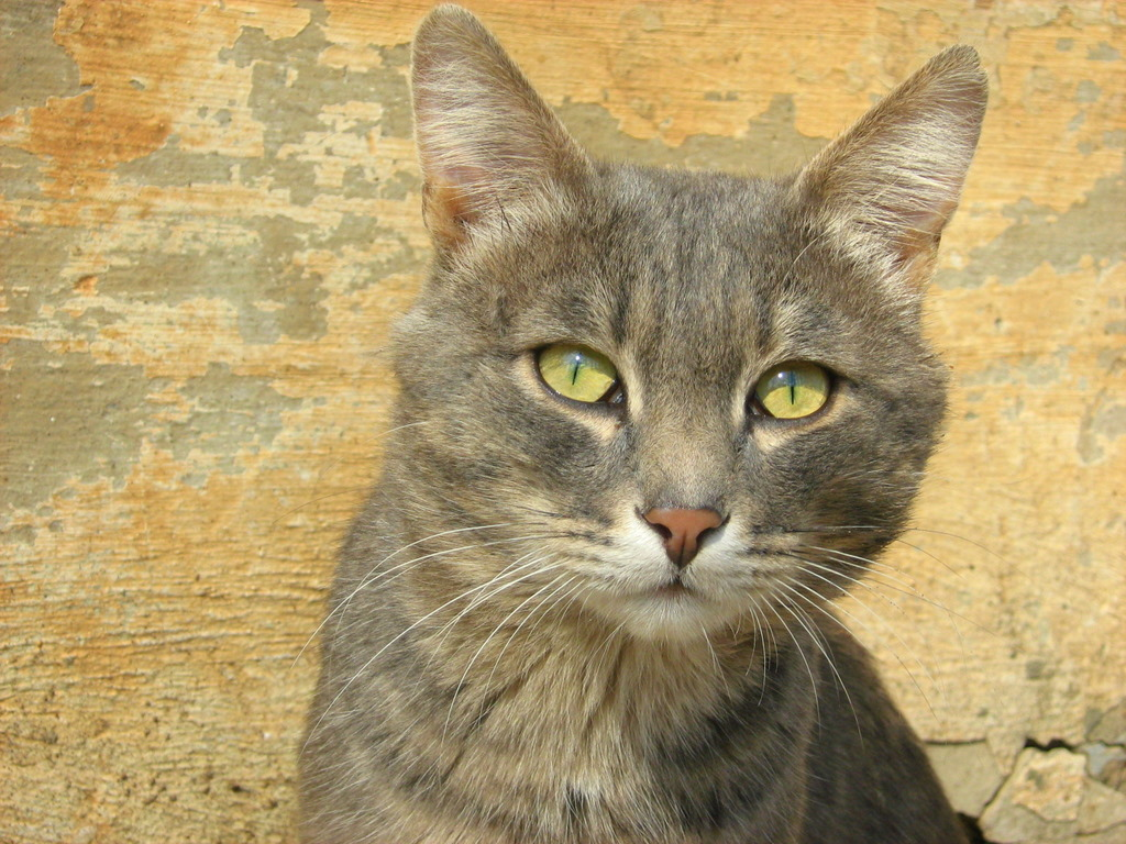 Russian Tabby Cat: Russian Russian Blue Tabby Cat Breed
