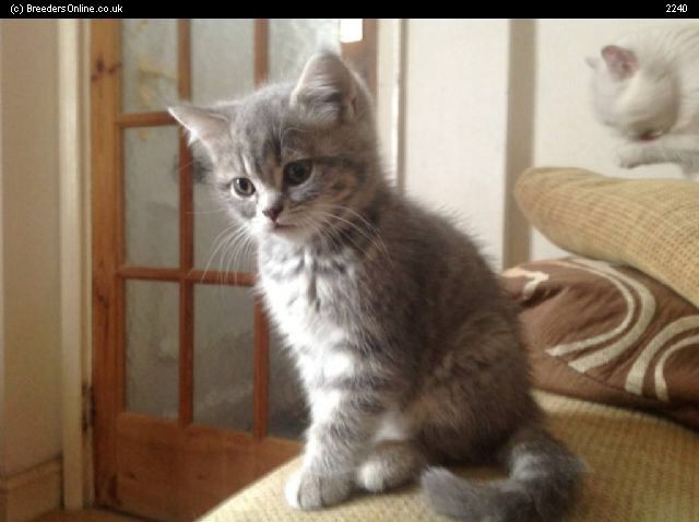 Russian Tabby Kitten: Russian Russian Tabby Cat Breed