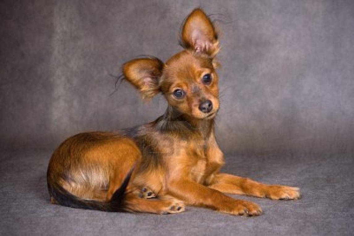 Russian Toy Dog: Russian Russian Toy Dog Breed