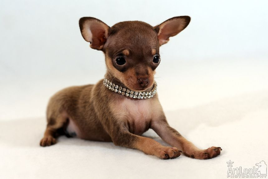 Russian Toy Dog: Russian Russian Toy Terrier Breed