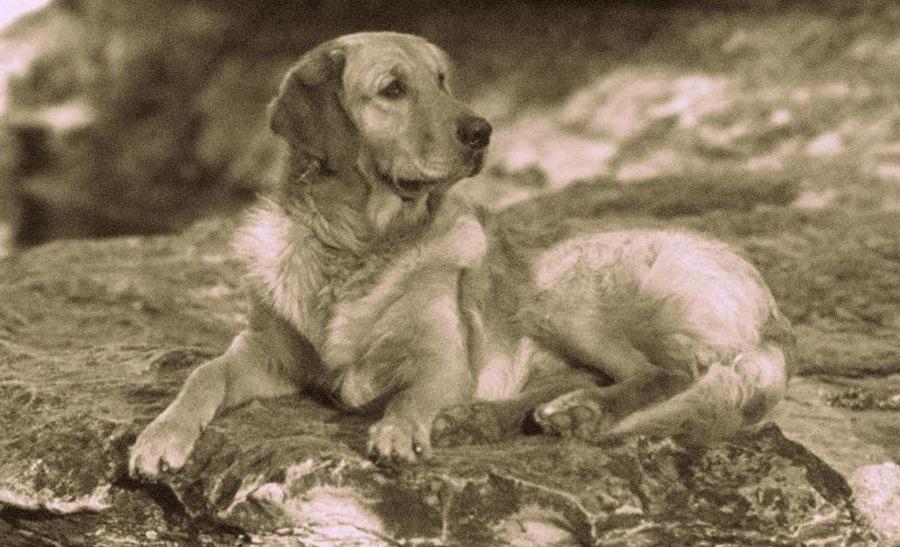Russian tracker Dog: Russian Russian Tracker Breed