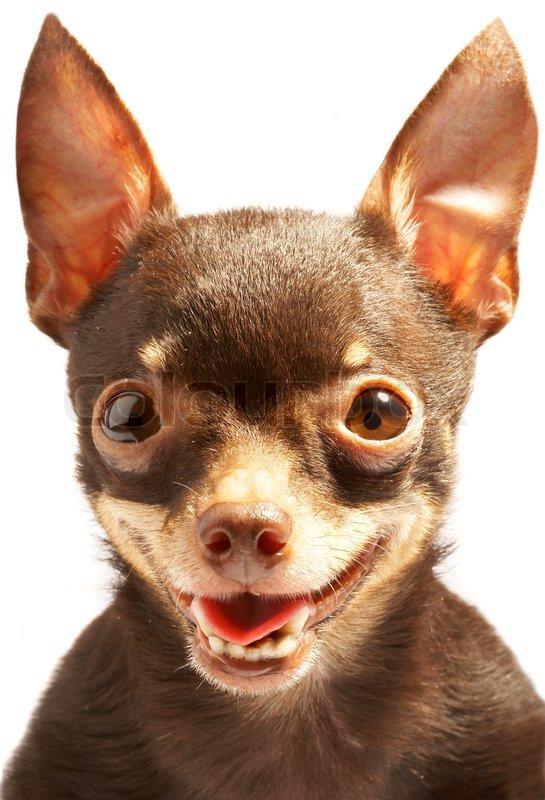 Russian Toy Dog: Russian Russische Toy Terrier Thoroughbred Hund Lacherlich Hund Bild Breed