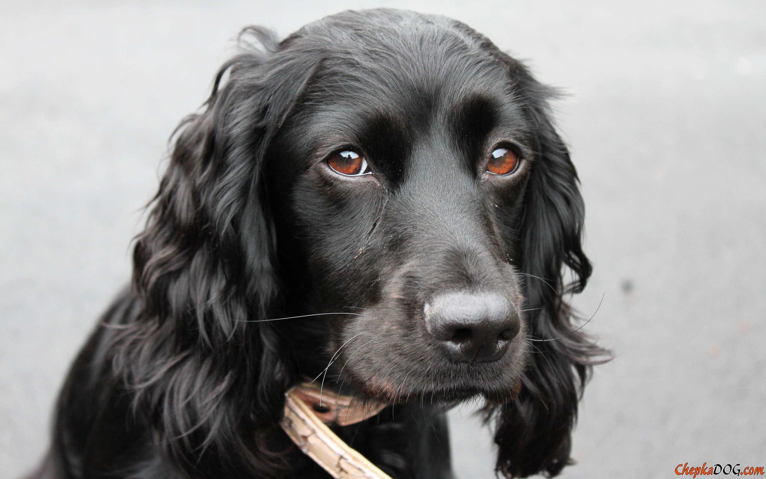 Russian Spaniel Dog: Russian Sad Russian Spaniel Breed