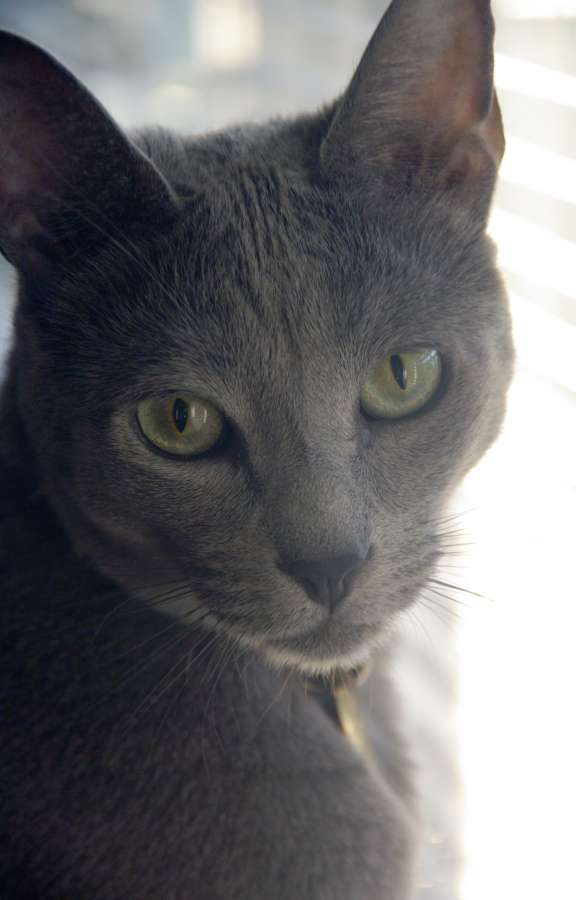 Russian Blue Cat: Russian Siamese Cat Vs Russian Blue Breed