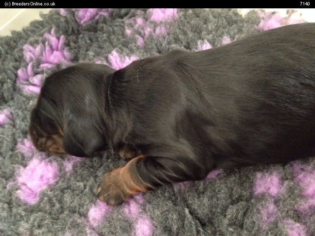 Russian Spaniel Puppies: Russian Spaniel Cocker Breed