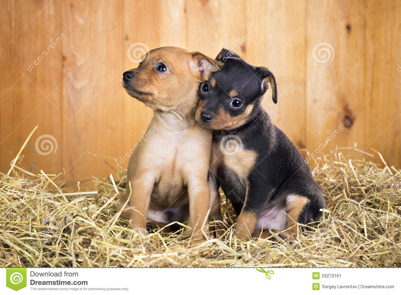 Russian Toy Puppies: Russian Stock Two Russian Toy Terrier Puppies Breed