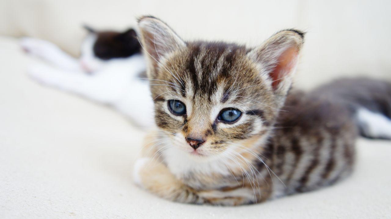 Russian Tabby Kitten: Russian Tabbyrussianbluecats Breed
