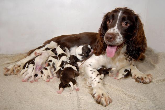 Russian Spaniel Puppies: Russian Whoa Mama Astounding Dog Litters Breed