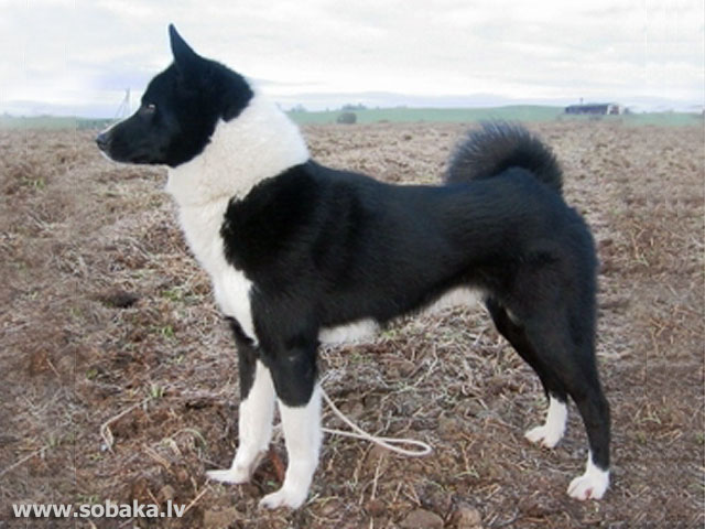 Russo-European Laika Puppies: Russo European Breed