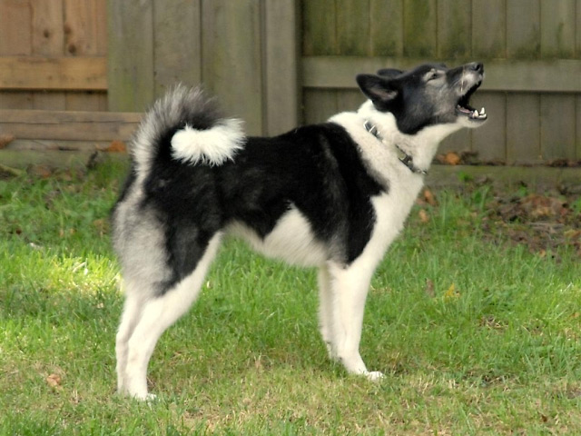 Russo-European Laika Dog: Russo European Laika Ruso Europeo Breed
